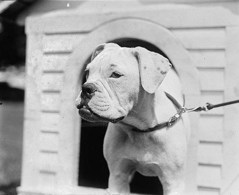 Mrs. Harding dog O'Boy