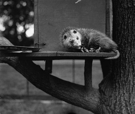 Hoover's Possum