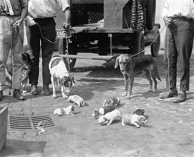 D. C. dog catchers pick up a litter. 1924