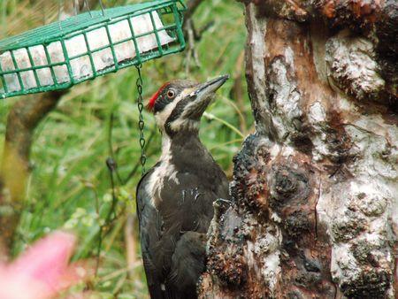 A bear Woodpecker
