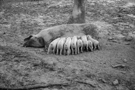 Sow with her litter, Prince George's County, Maryland Mydans 1935