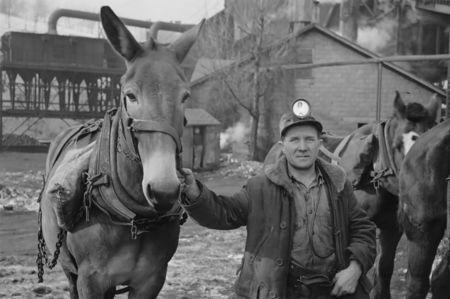 Miner and mule at American Radiator Mine, Mount Pleasant, Westmoreland County, Pennsylvania mydans 1936