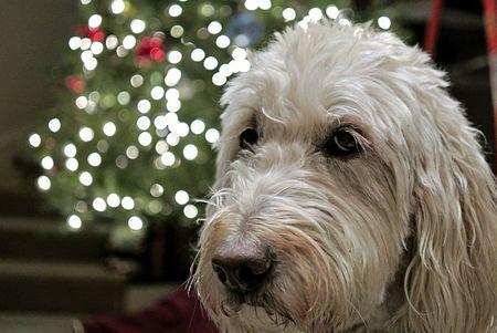 White Dog Christmas
