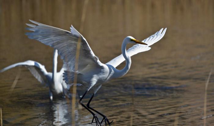 Retriever Egret