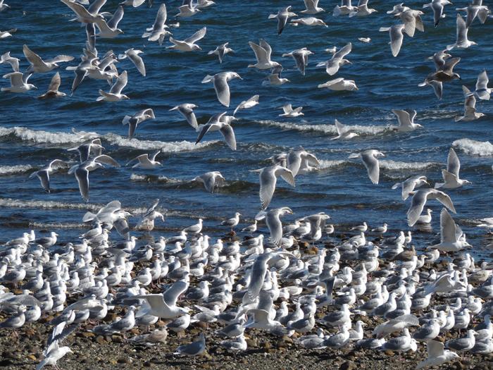 Abear seagulls