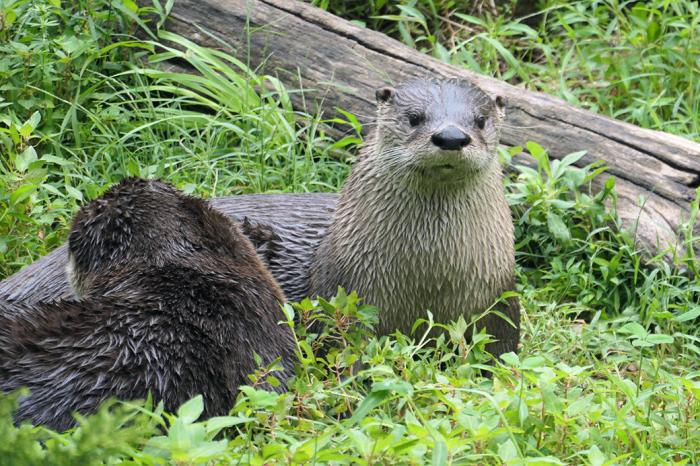 Otters Retriever